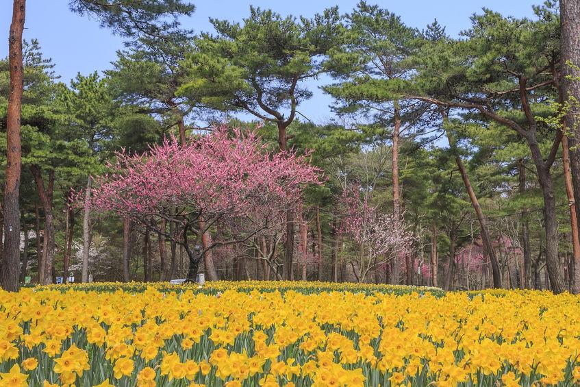2020年 お花見ドライブ茨城おすすめスポット